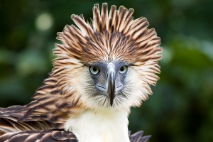 Philippine Eagle (Close Up)