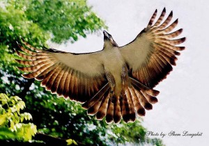Philippine Eagle (Full Length)